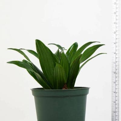 Janet Craig Dracaena (Dracaena Deremensis) Live Plant in 6 in. Growers Pot