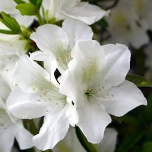 2.25 Gal. Azalea Mrs. G.G. Gerbing Flowering Shrub with White Blooms