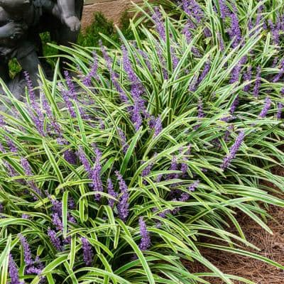 Variegated Liriope Variegated Foliage Live Bareroot Perennial Groundcover Starter Plants (5-Pack)