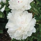 Festiva Maxima Peony (Paeonia), Live Bareroot Perennial Plant, White Flowers (1-Pack)