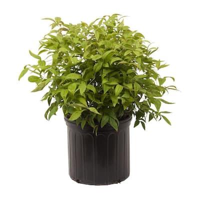 2.5 Gal - Firepower Nandina(Heavenly Bamboo), Live Evergreen Shrub, Bright Red Winter Foliage