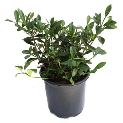 2.5 Qt. White Blooms Variegated Radicans Gardenia Plant