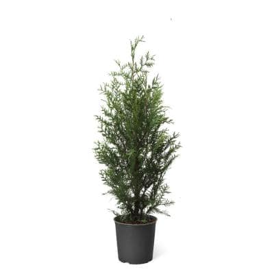 3 ft. to 4 ft. Tall 5 Gal. Thuja Green Giant Evergreen Trees