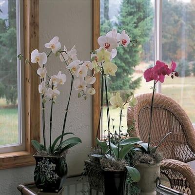Holiday Festive Orchid Deco Pot (Phalaenopsis)