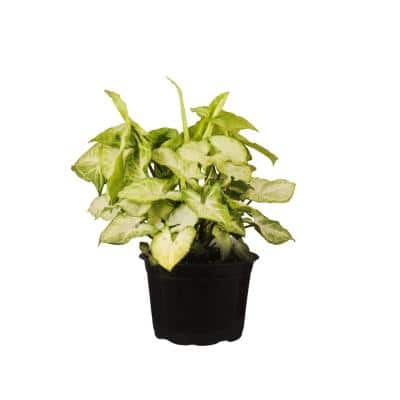 Syngoniam White Butterfly in 6 in. Grower Pot