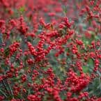 Winter Red Winterberry (Ilex), 3 in. Live Deciduous Shrub with White Flowers, Grown in a Pot (1-Pack)