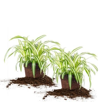 Spider Plant 6 in. Pot (2-Pack)