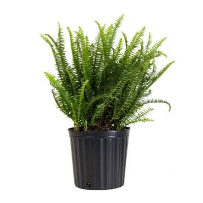 Kimberly Fern Plant in 9.25 in. Grower Pot