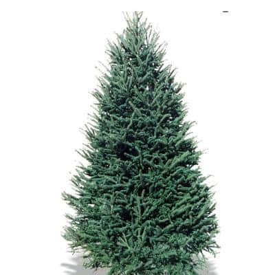 7-8 ft. Freshly Cut Live Abies Balsam Fir Christmas Tree