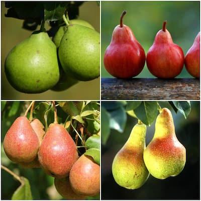 4-in-1 Pear Jubilee Tree Bare Root