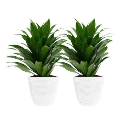 6 in. Grower's Choice Dracaena Plant in White Decor Pot (2-Pack)