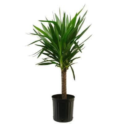 Yucca Cane in 8.75 in. Grower Pot