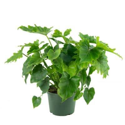 6 in. Shangri-La Philodendron Plant