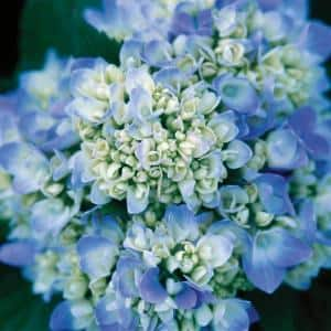2 Gal. The Original Hydrangea(Macrophylla) Live Deciduous Shrub, Pink or Blue Mophead Blooms