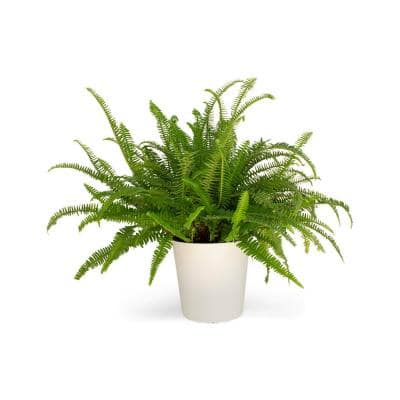 1.9 Gal. Kimberly Fern Plant in 9.25 in. Designer Pot
