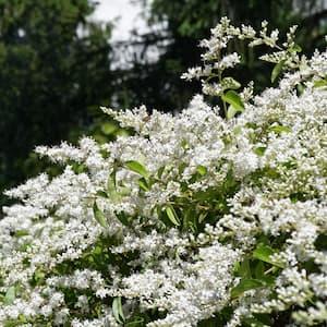 2.25 Gal. Ligustrum Curly Leaf Flowering Shrub with White Blooms