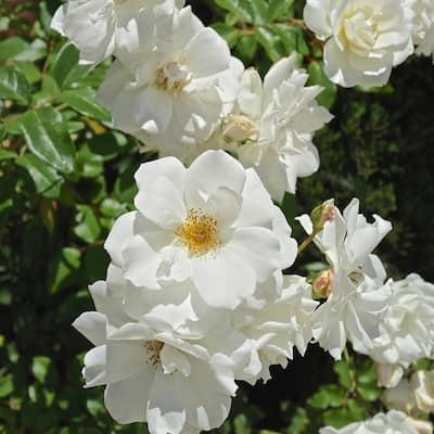 White Rose Iceberg Root Stock