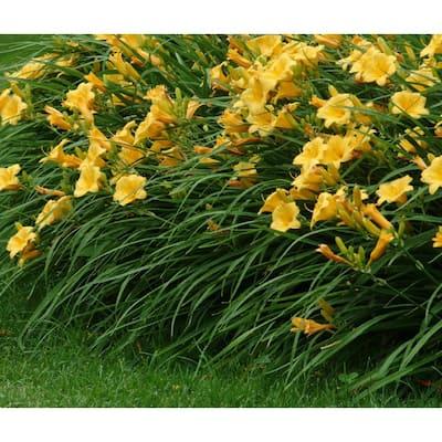 1 Gal. Daylily Plant