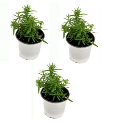 4 in. Rosemary Herb Plant with Lavender Blooms (3-Pack)
