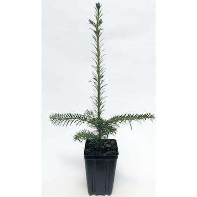 Fraser Fir Potted Evergreen Tree