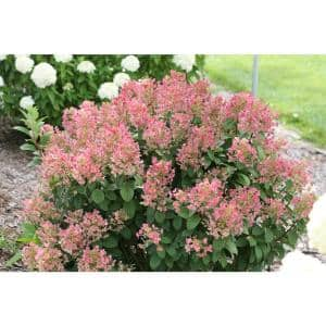 4.5 in. qt. Little Quick Fire Hardy Hydrangea (Paniculata) Live Shrub, White to Pink Flowers