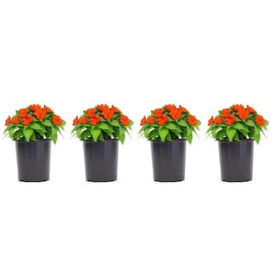 1 Gal. SunPatiens Orange Impatien Outdoor Annual Plant with Orange Flowers (4-Plants)