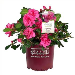 3 Gal. Autumn Rouge Azalea Shrub with Bright Pink Flowers