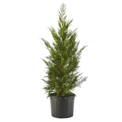 2.25 Gal. Leyland Cypress Evergreen Tree with Green Foliage