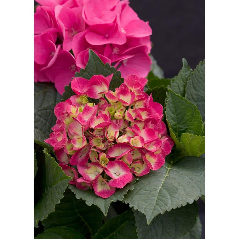 Hydrangea macrophylla Taube-Hydrangea Teller Rose plant in 12 cm pot