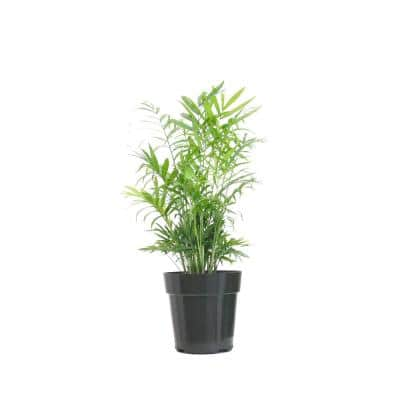 Neanthebella Palm Live Indoor Chamaedorea Elegans Plant in 6 in. Grower Pot
