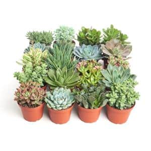 4 in. Assorted Succulent Collection Succulent (Collection of 20)