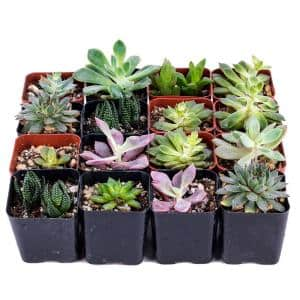 Succulent Bulk Pack (Collection of 16)
