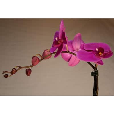 Luna River 5.0 in. Grower Pot Purple Phalaenopsis Orchid
