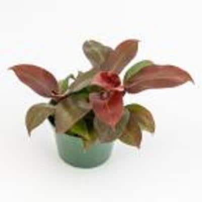 6 in. McColley's Finale Philodendron Plant in Grower Pot