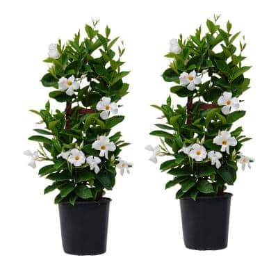 30 in. to 34 in. Tall Mandevilla Trellis White Live Outdoor Vining Plant in 9.25 in. Grower (2-Pack)
