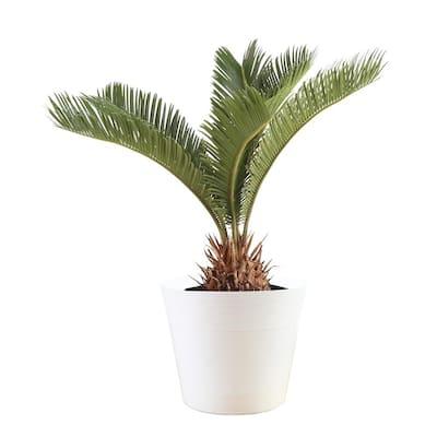 6 in. Vigoro Sago Palm Plant in White Décor Plastic Pot