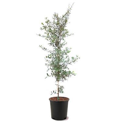 5 Gal. Southern Live Oak Semi-Evergreen Tree