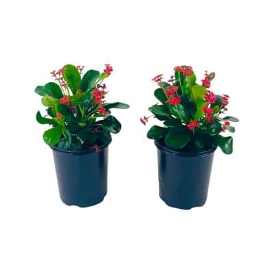 2.5 Qt. Crown of Thorns Plant Red Flowers in 6.33 In. Grower's Pot (2-Plants)