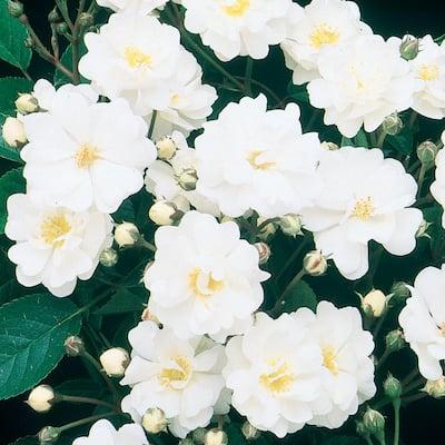 Gourmet Popcorn Shrub Rose, Live Bareroot Plant with White Flowers (1-Pack)
