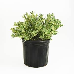 2.25 Gal. Carissa Holly Plant