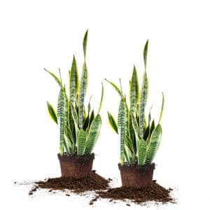 6 in. Snake Plant Pot (2-Pack)