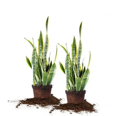 6 in. Snake Plant Pot (2-Pack)