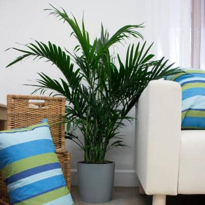 Cateracterum Palm (Cat Palm) in 9.25 in. Grower Pot