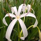 Givhandys 4 in. Potted Bog Lily Bog/Marginal Aquatic Pond Plant