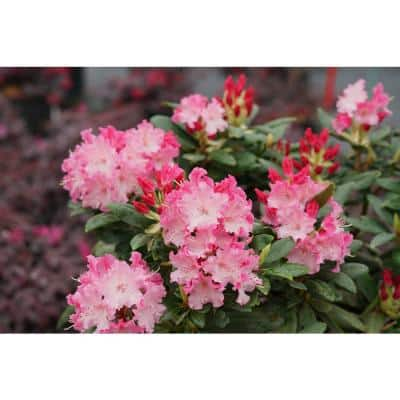 1 Gal. Dandy Man Color Wheel Rhododendron Live Plant, Pink Flowers and Evergreen Foliage