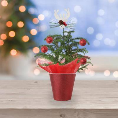 4 in. Live Decorative Pine Plant