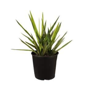 Yucca Tip Plant in 9.25 in. Grower Pot 18 in. to 22 in. Tall