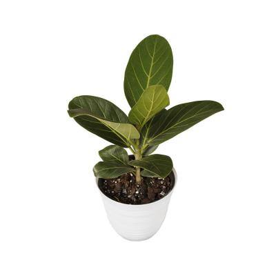 Ficus Audrey Plant in 6 in. White Decor Pot 12. in to 16 in. Tall
