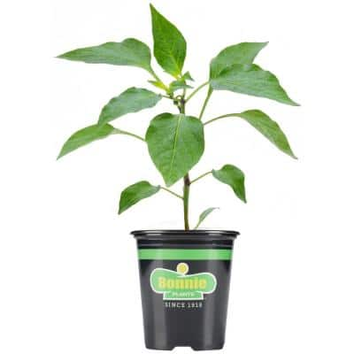 19.3 oz. Red Bell Sweet Pepper Plant