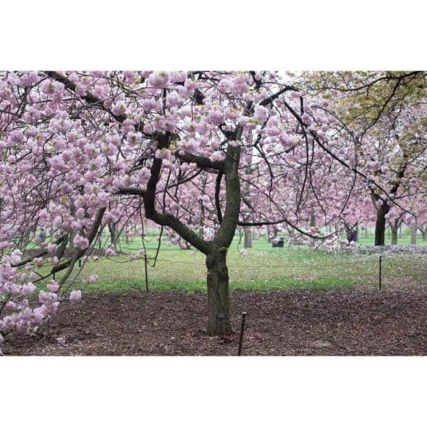 Online Orchards Shogetsu Cherry Blossom Tree Bare Root 3 Ft To 4 Ft Tall Flch007 The Home Depot